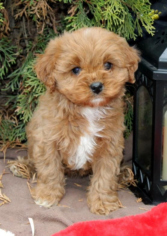 Gingerbread Cavapoo Puppy For Sale In Ephrata Pa Lancaster Puppies Cavapoo Puppies For Sale Lancaster Puppies Cavapoo Puppies