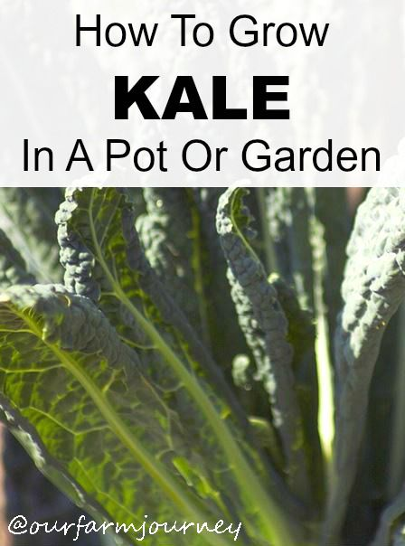How To Grow Kale From Seeds In A Pot Or Garden Winter Vegetables