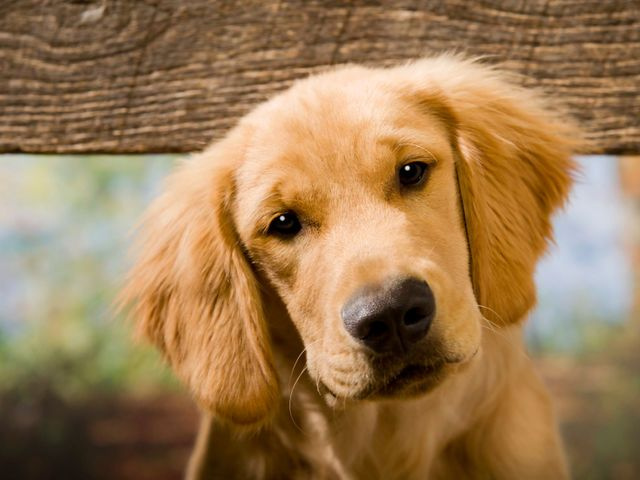 What Is Your Actual Birth Name Dogs Your Dog Old Golden Retriever
