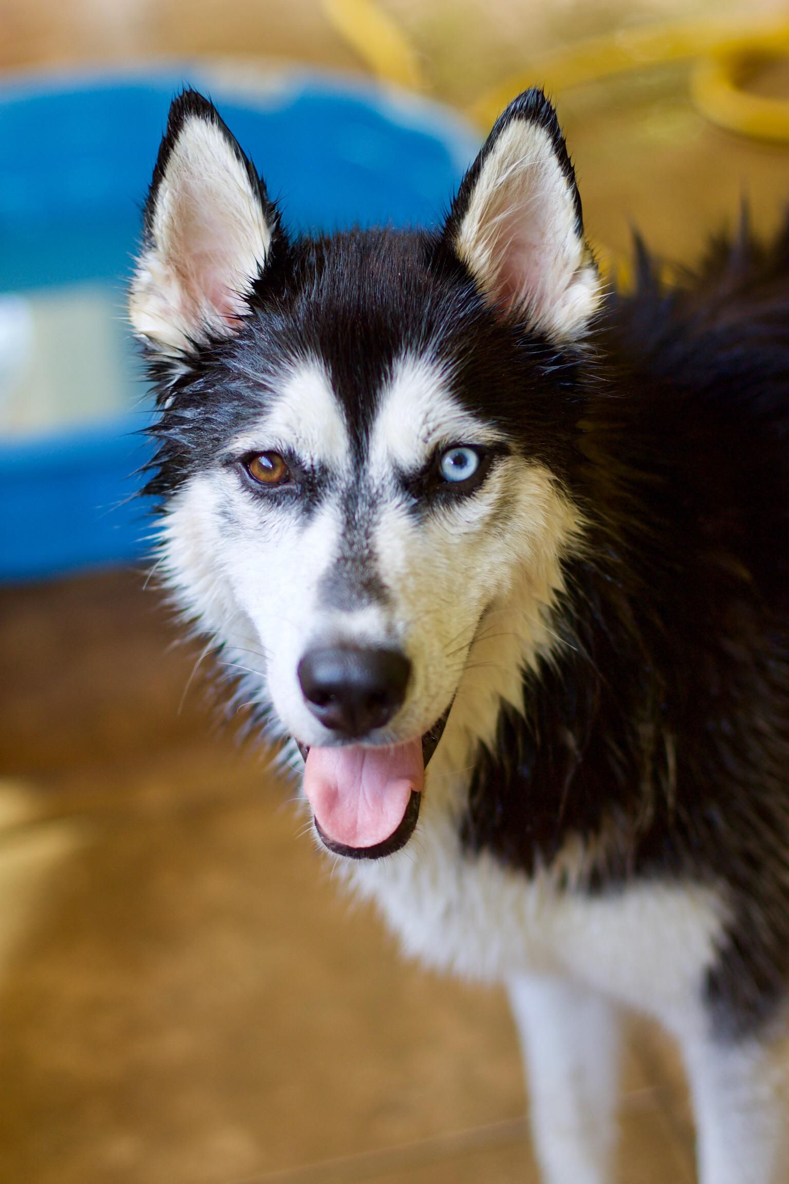 The Most Handsome Doggo On The Block Husky Huskies Pet Dogs