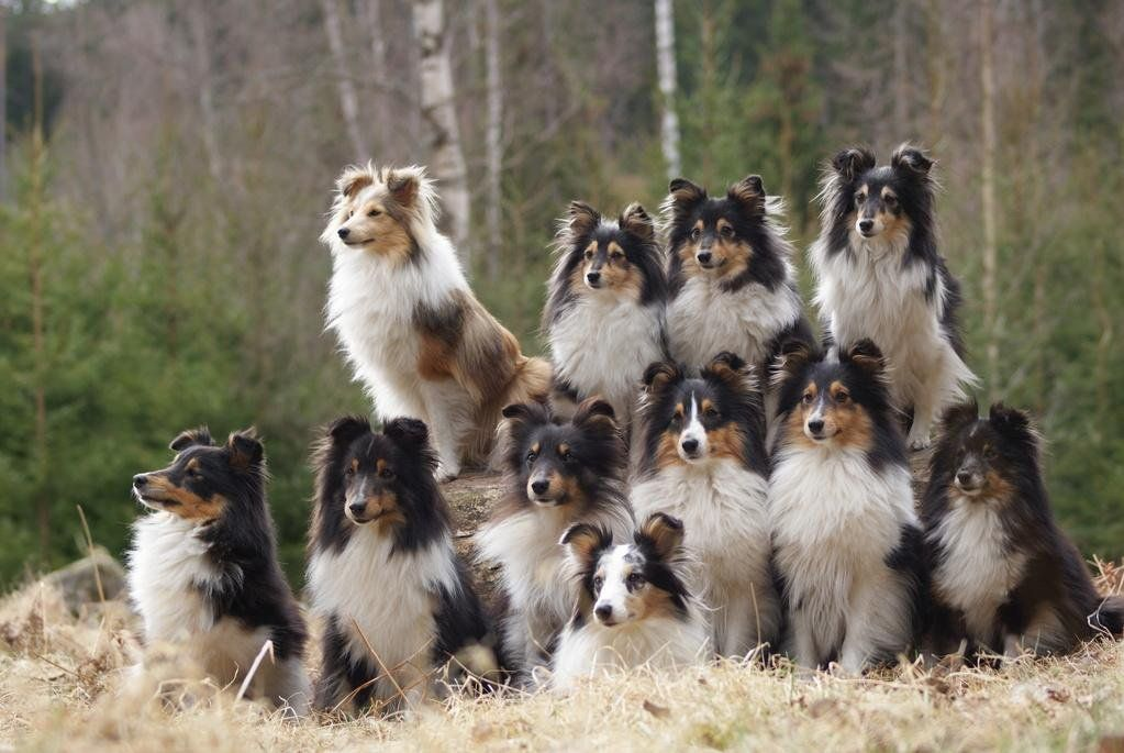 Shetland Sheepdog Dog Breed Information Sheep Dog Puppy