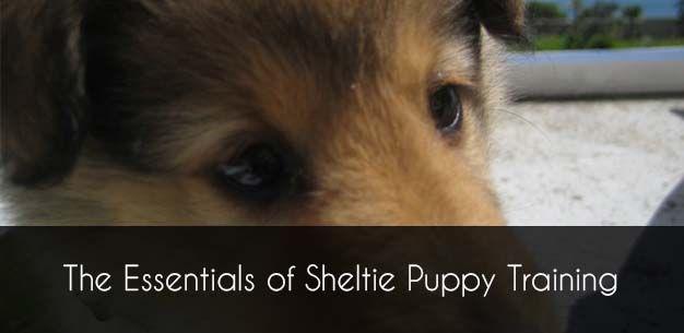 The Basics of Sheltie Puppy Training Sheltie puppy