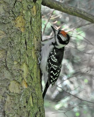 This Hairy Woodpecker is a male that had just recently emerged from the nest cavity.