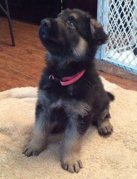 German Shepherd Dog Puppy For Sale In San Antonio Tx Adn 45813 On