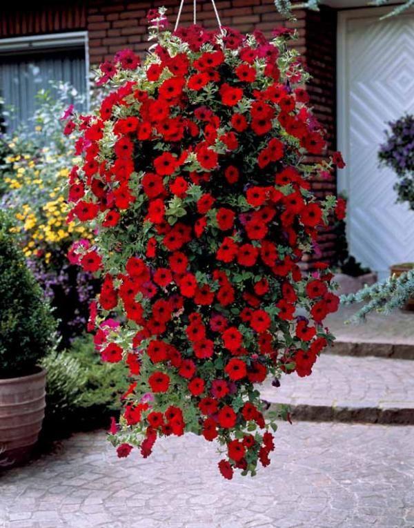3 p tunias retombants rouges jardin fleurs flowers pinterest p tunias rouge et. Black Bedroom Furniture Sets. Home Design Ideas