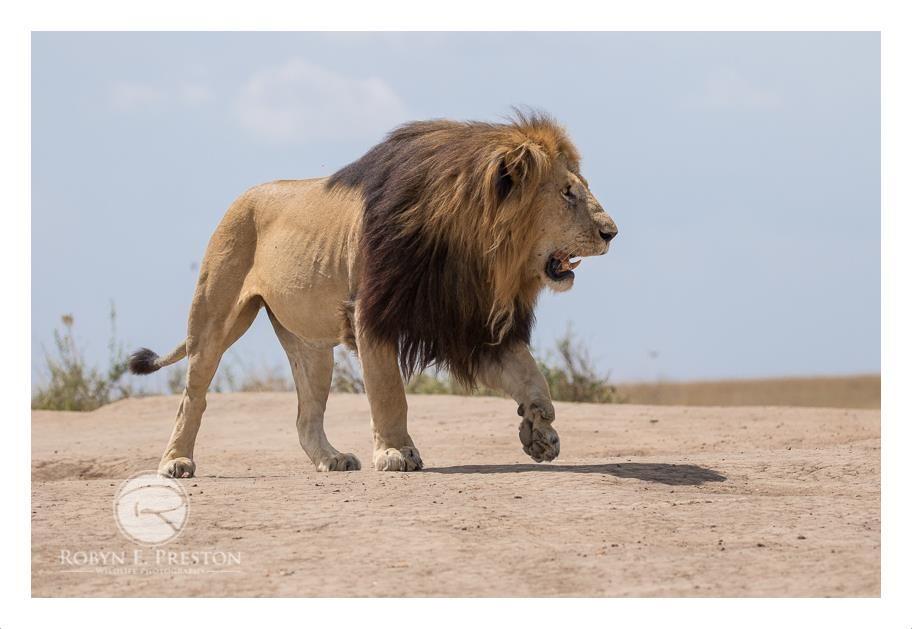 Lion King Notch And His Famous 5 Sons Lion King Lion Black Lion