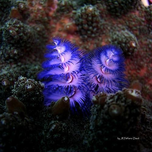 These Are Undersea Creatures Called Christmas Tree Worms Worms Yep Spirobranchus Gigante Beautiful Sea Creatures Largest Sea Creature Underwater Creatures