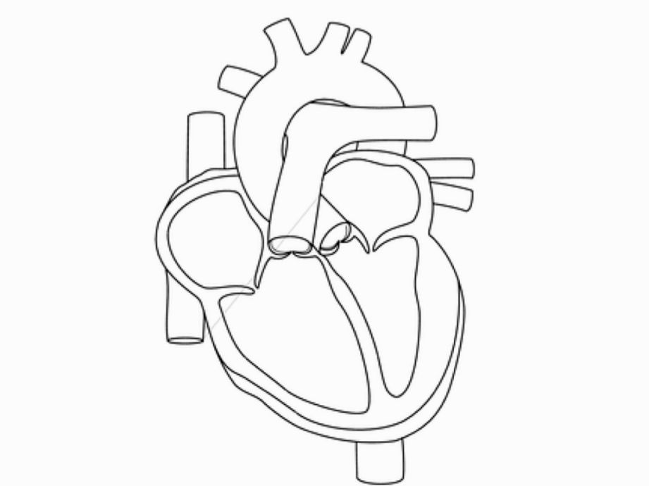Human Heart Coloring Pages | Line Drawing | Pinterest | Cuerpo ...