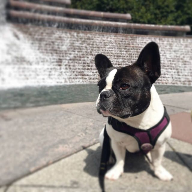 Free Frenchie Ring With Images Cute French Bulldog French
