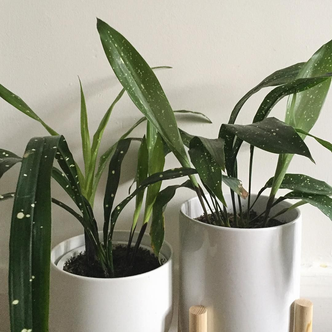 Комнатный цветок аспидистра: уход в домашних условиях, фото