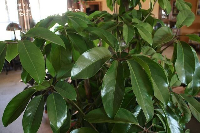 House Plant Identification By Leaf ponyuk picture (closed: socal tree with broad green waxy leaves