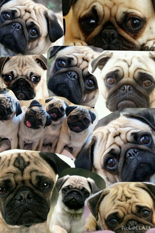 Pin By Cathy Kwong On Cutie Pie Pugs Animals Cutie