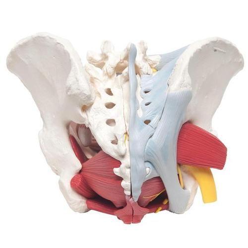 H20/4: Pelvis femenina con ligamentos, vasos, nervios, piso pélvico ...