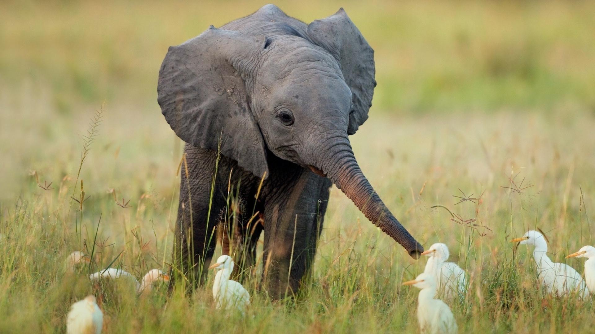 Cute Baby Elephant Hd Wallpaper 1920x1080 Id 40880 Baby Elephant Pictures Cute Animal Pictures Cute Baby Elephant