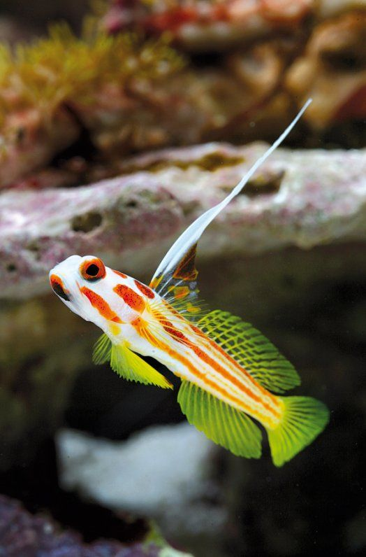stonogobiops yasha underwater world marine fish marine fish