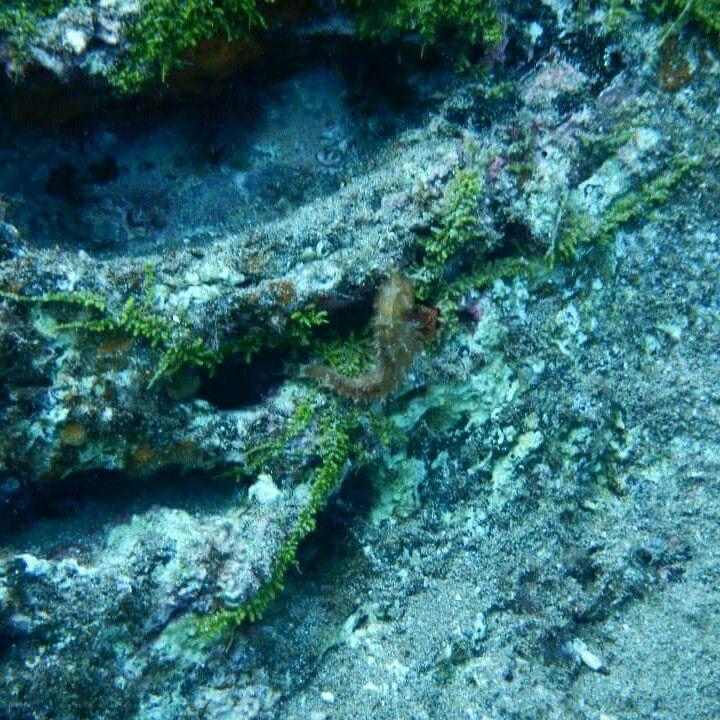 Seahorse Playa Chica Puerto Del Carmen Lanzarote Canary Islands Spain Scuba Scubadiving Diving