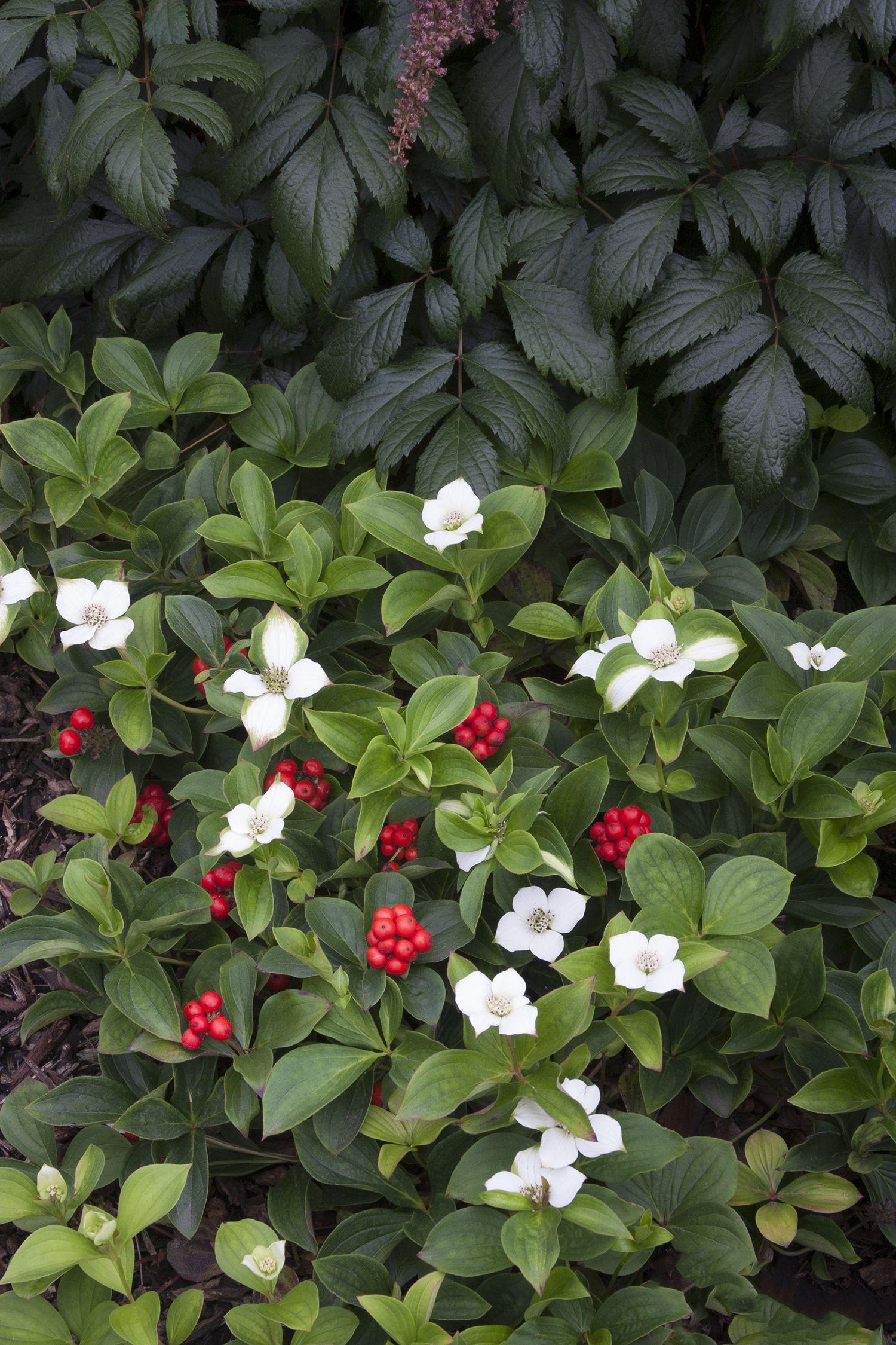 Bunchberry Monrovia Bunchberry