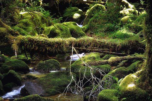 Musgos y helechos - Valle de Cochamo (Patagonia -Chile)