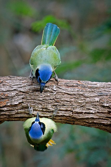 ♀ Wildlife photography bokeh birds face to face Green Jay (Cyanocorax yncas) / mirror image