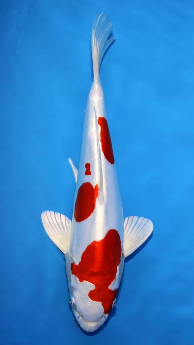 Name Baby Champion Jpg Views 37 Size 39 4 Kb Koi Carp Fish Koi Fish Drawing Koi Fish