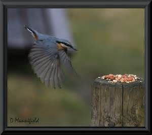 NUTHATCH - Bing Images