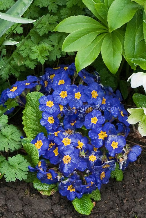 Primula Piano Blue With Hellebores In Spring Bloom Biennial Blue