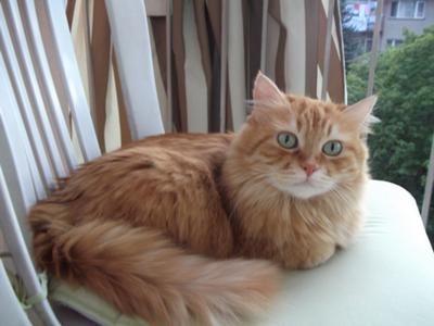 Tabby And Turkish Angora Mix My Mum S Cat Tarcin Turkish Angora Cat Angora Cats Orange Cats