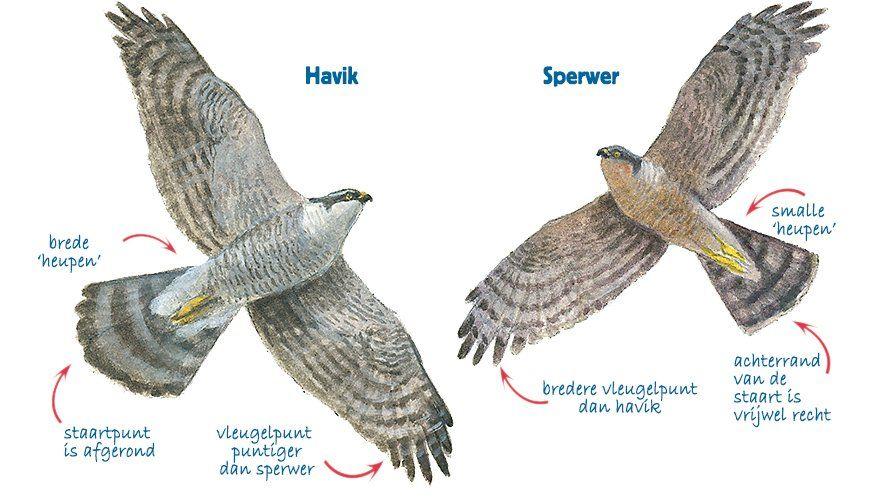havik vs sperwer sperwer vogels prachtige vogels