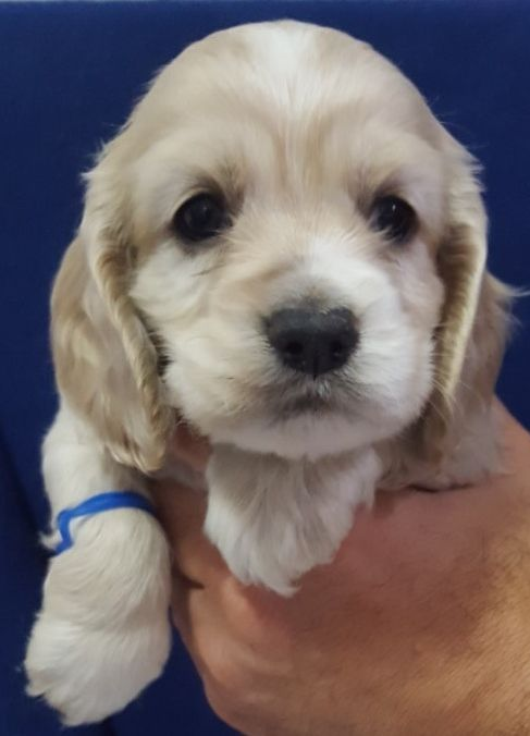 Litter Of 8 Cocker Spaniel Puppies For Sale In Springfield Ma