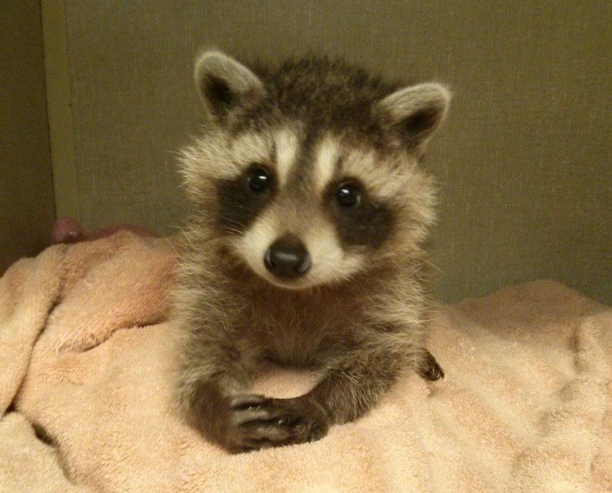 fa5c204b43dcdd848209e82a88b2b4f2 baby raccoon meme cute or funny pinterest baby raccoon