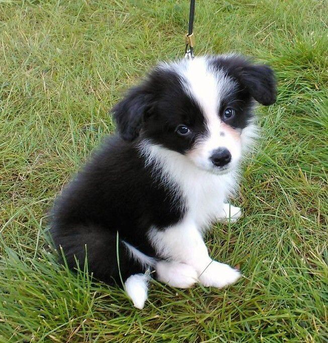 Dani 8 Weeks Old Border Collie From Finland