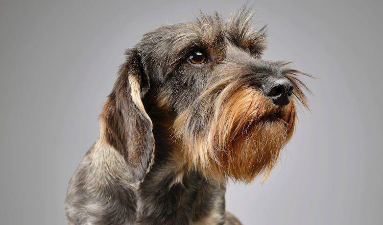 Park Art|My WordPress Blog_Wire Haired Dachshund Puppies For Sale