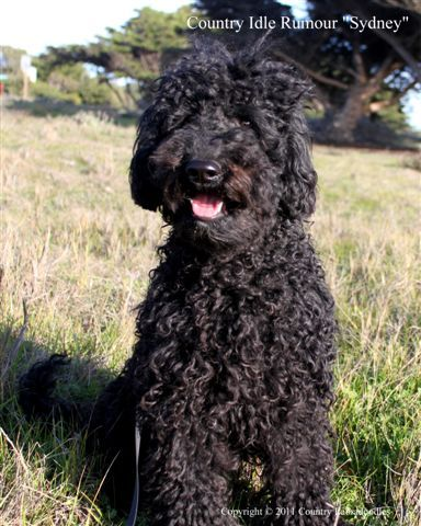 Black Labradoodle This Looks Like Our Sampson Black Labradoodle