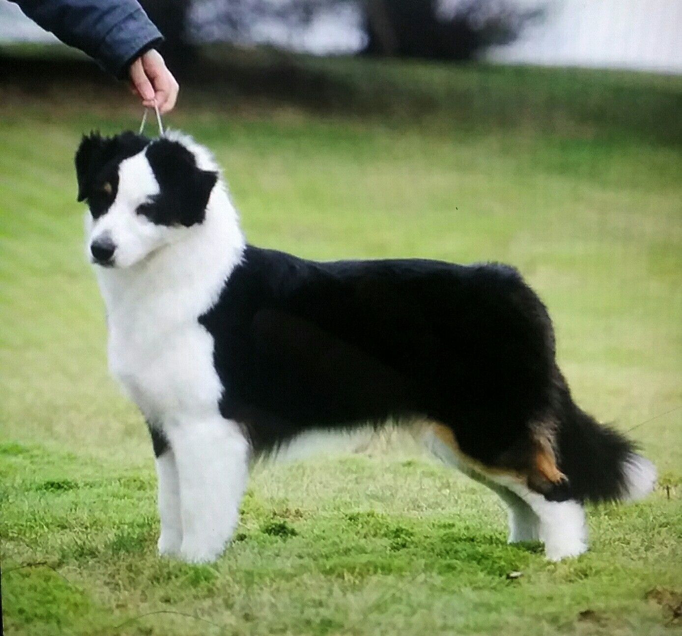Non Docked Australian Shepherd Beautiful With Tail Aussie Dogs