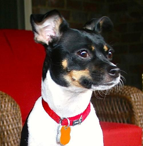 Beautiful Rat Terrier Chihuahua Mix I Hope To Adopt Her Name Is