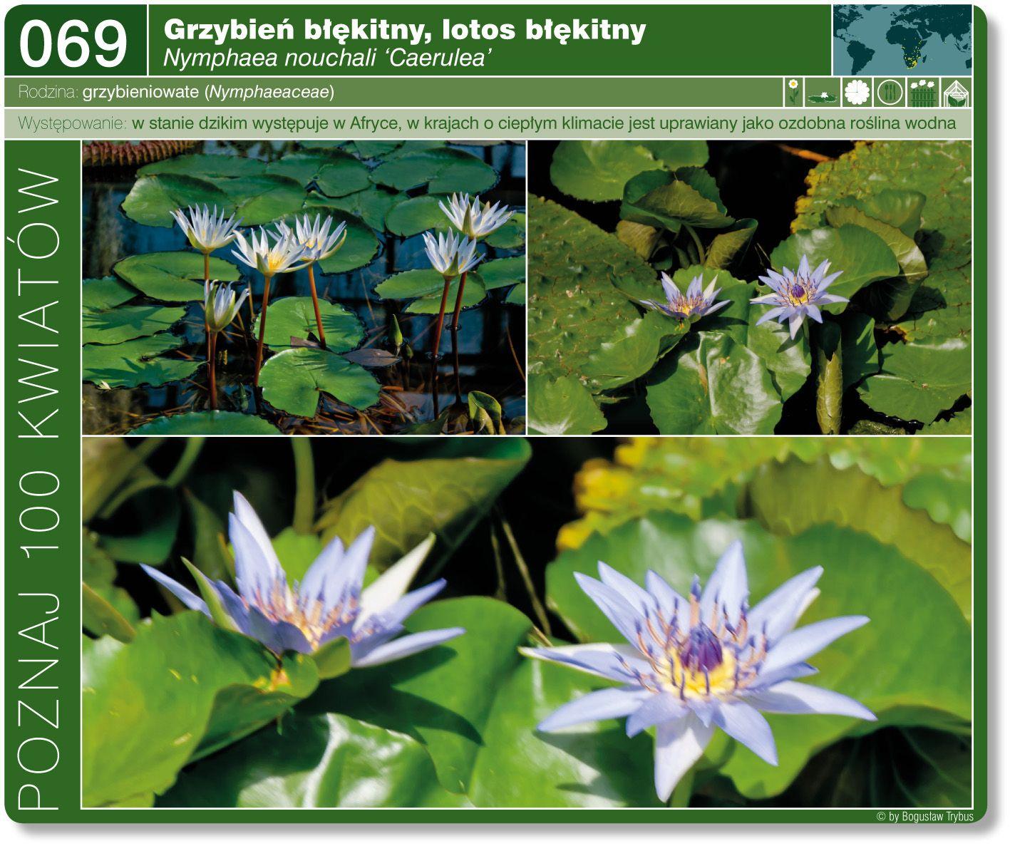 Grzybien Blekitny Plants