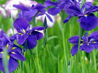 French National Flower Iris Flowers In France Is A Country Of Its Capital Paris Flora In The World Iris Is Consid Iris Flowers Flower Seeds Bonsai Flower