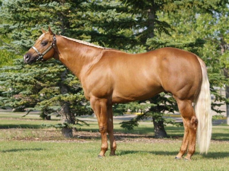 Les Fonds D Ecran Un Cheval Palomino Au Modele Quarter Horse Cheval Palomino Chevaux Native Americaine