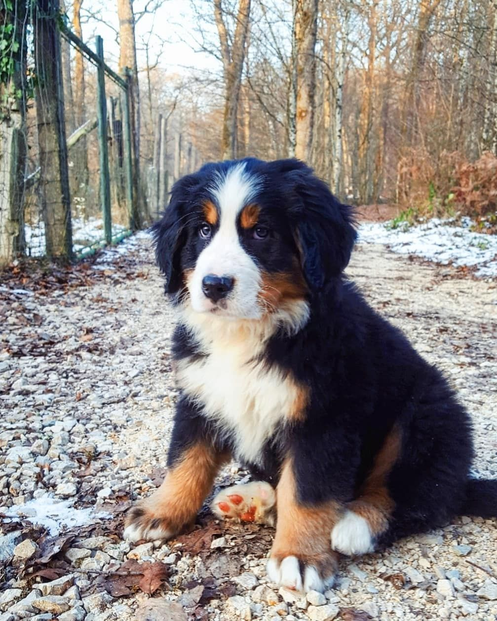 14 Interesting Facts About Bernese Mountain Dogs In 2020 Mountain Dog Breeds Bernese Mountain Dog Scary Dogs