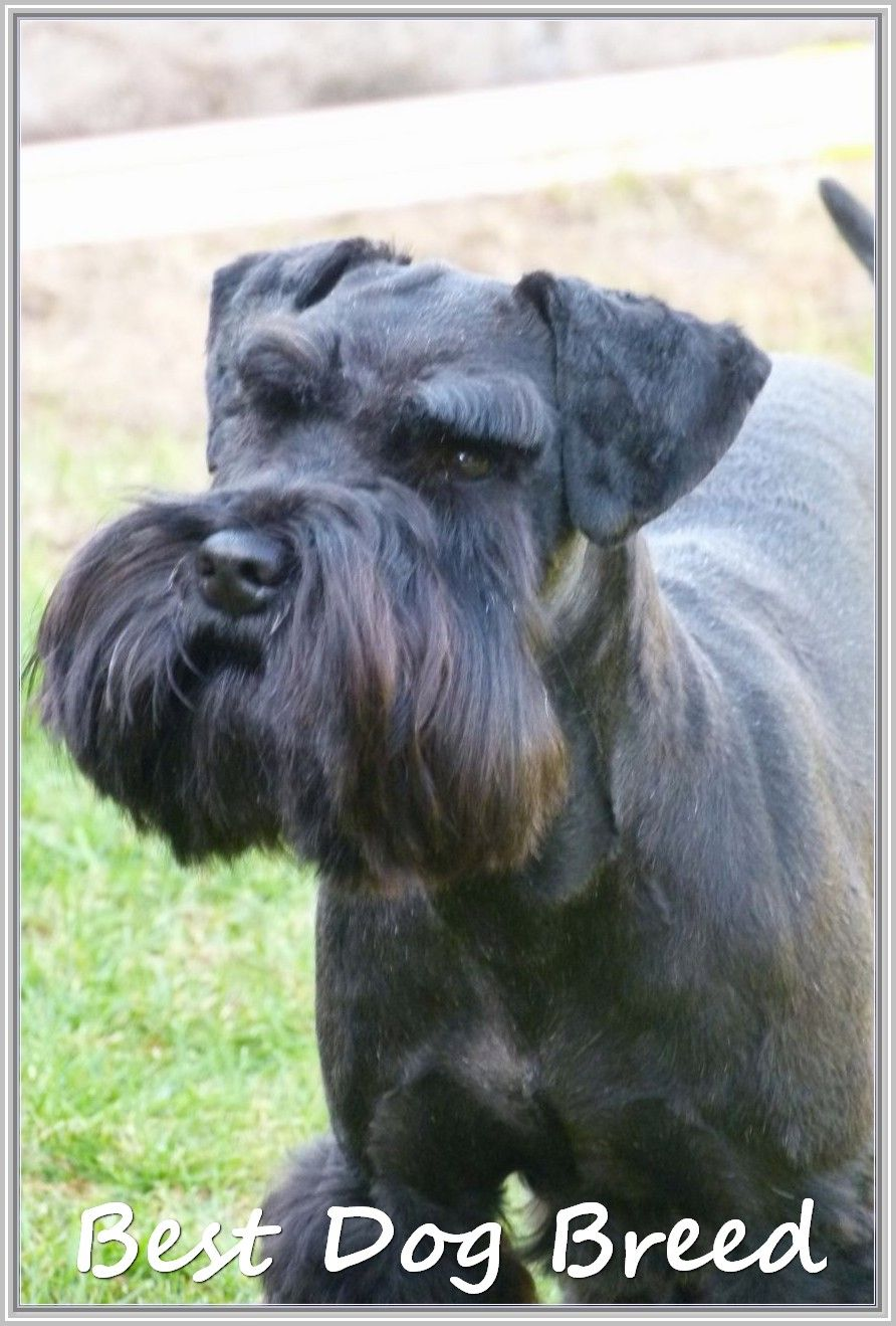 Repairing Problems Related To Dogs Schnauzer Puppy Miniature