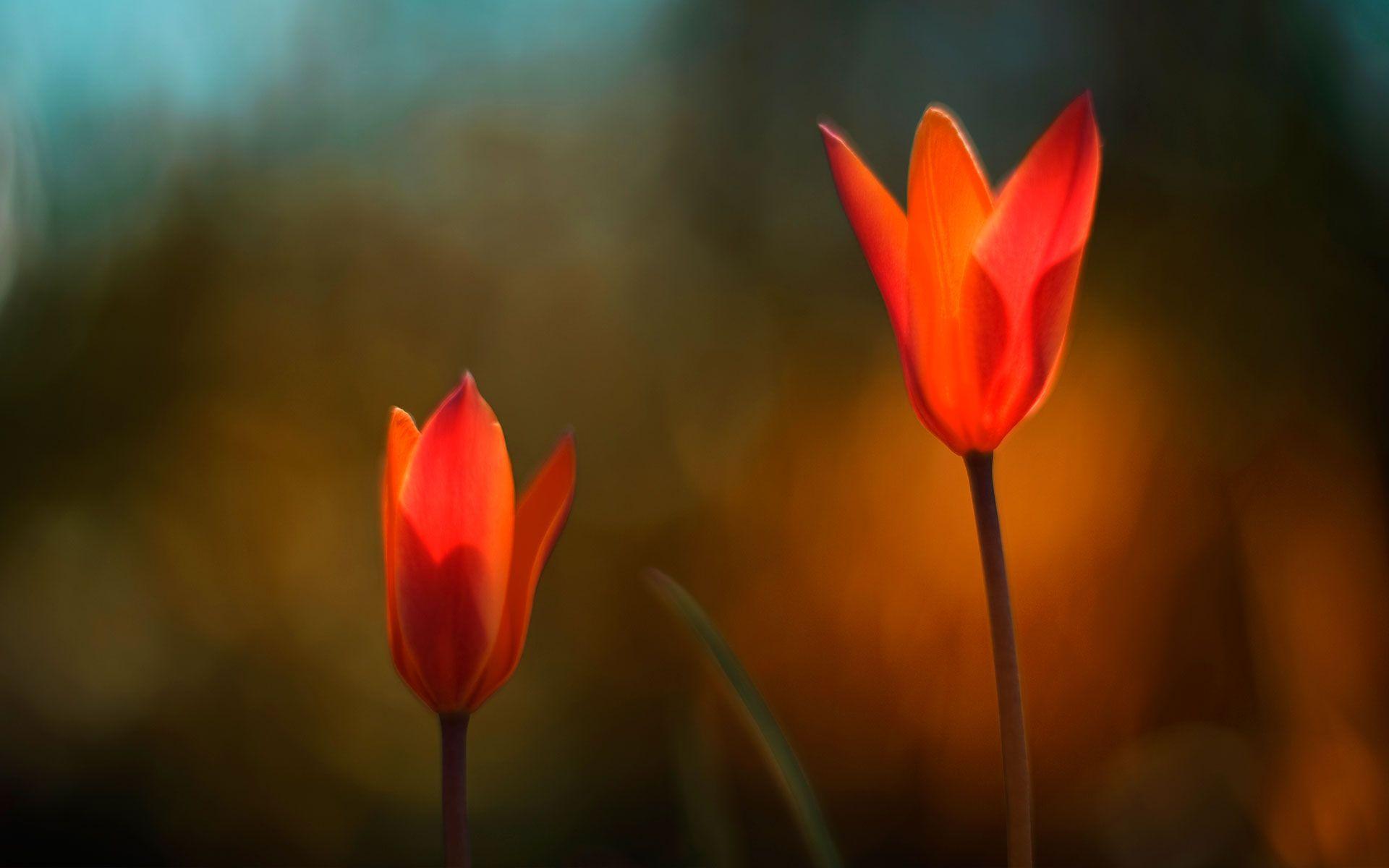 Flower Tulipanes Flores Murales