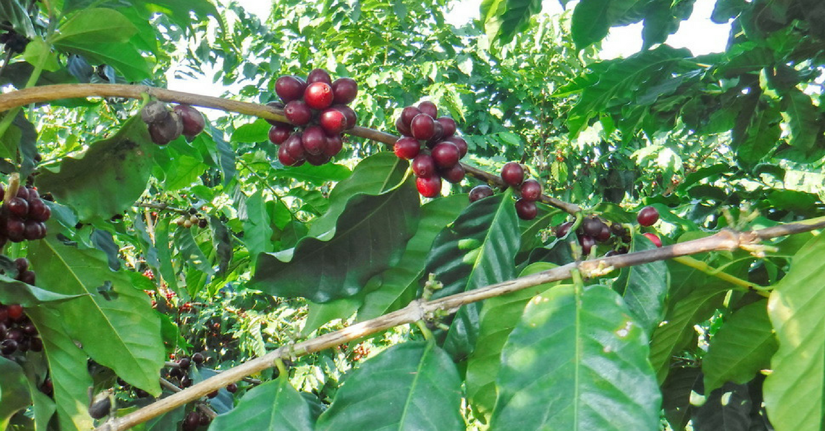 Aloha Grows on Trees Kona Coffee Farm Tour at Greenwell