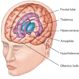 Teaching the brain with gestures frontal lobe brain and thalamus amgydala hippocampus prefrontale schors ccuart Images