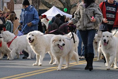 Walking the pack! ♡ | Great pyrenees, Pyrenean mountain dog, Top ...