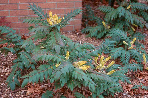 Low Oregon Grape Mahonia Nervosa Colorful Northwest Native For Shade Evergreen Plants Trellis Plants Winter Garden