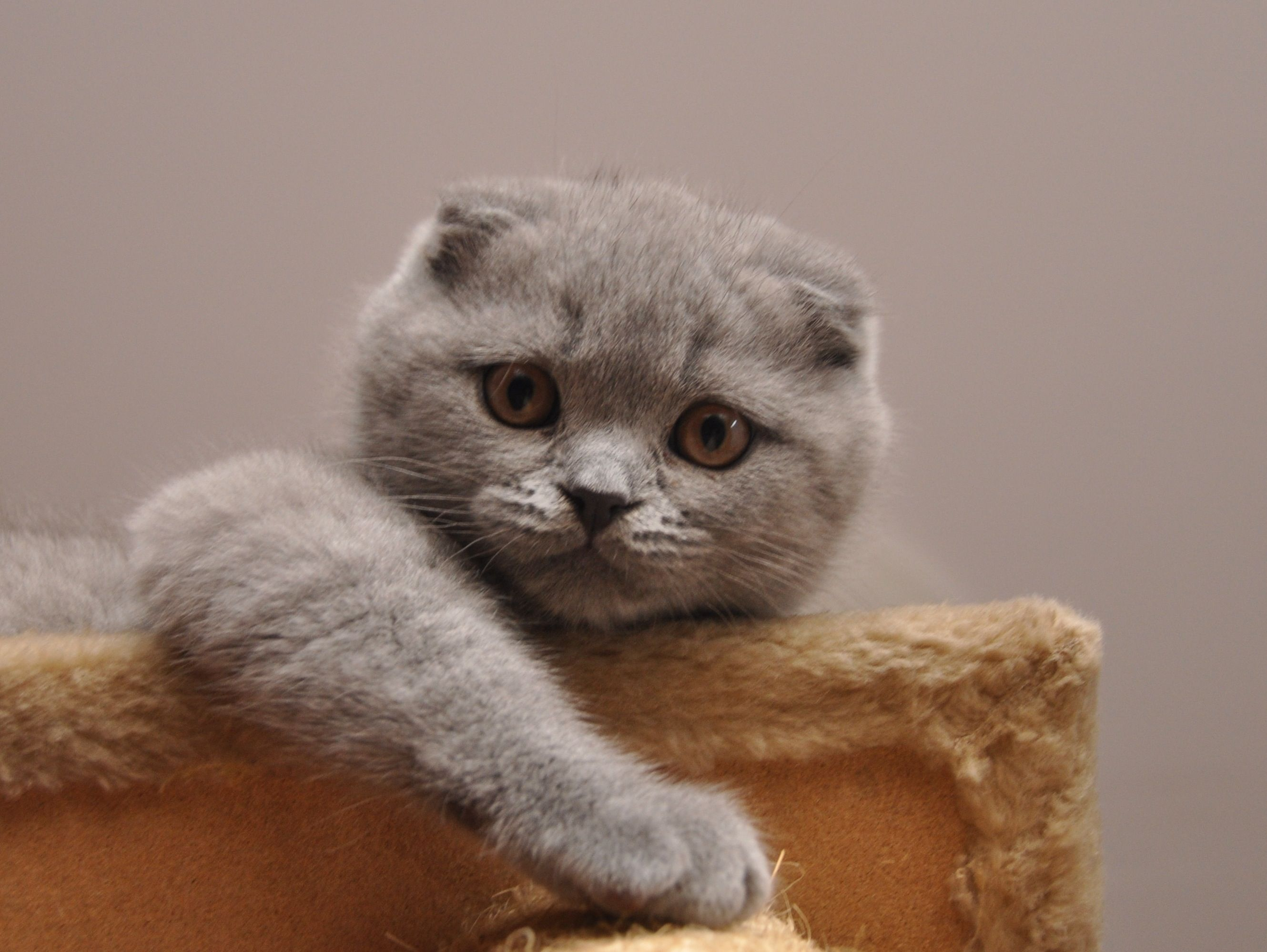Scottish Fold Double Or Triple Fold