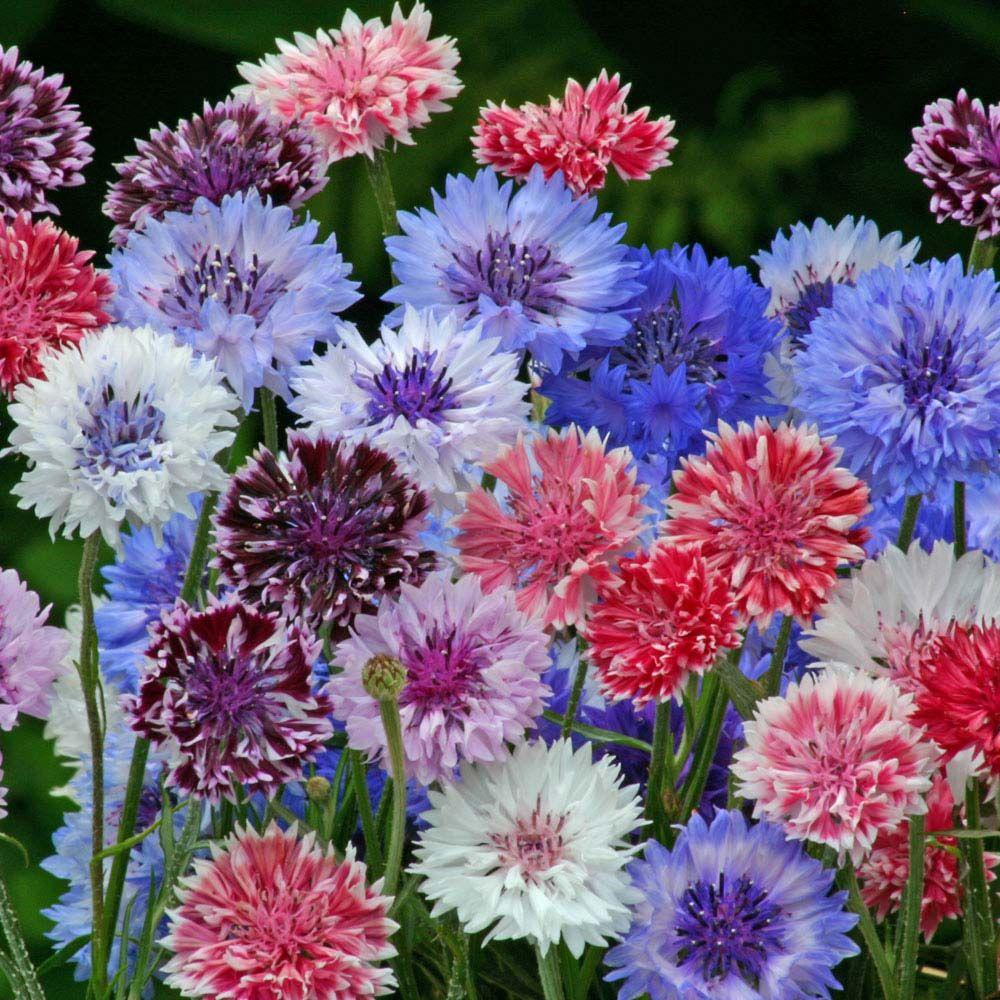 Cornflower Polka Dot Mixed Seeds Hardy Annual Seeds Van Meuwen Bachelor Button Flowers Flower Seeds Annual Flowers