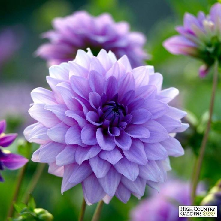 A show-stopping lilac-blue semi-dinnerplate variety brings a unique color to the world of Dahlias. These well-formed flowers provide dramatic color in the border for many months from midsummer.