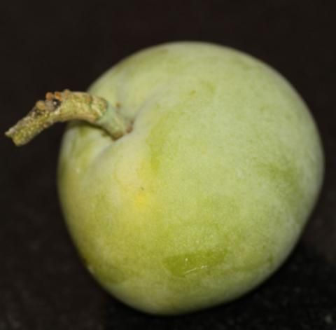 White Sapote fruit http://www.growplants.org/growing/white-sapote
