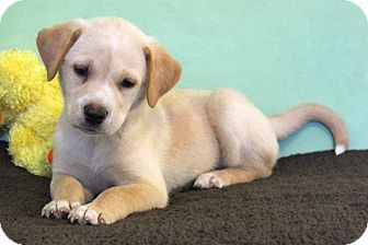 Adopted 7 26 Sue Ellen Is The Lighter Golden Girl Of The Litter Obviously Favoring Her Dad Who We Know Is A Purebred Yellow Yellow Lab Puppy Paper Dogs Pets